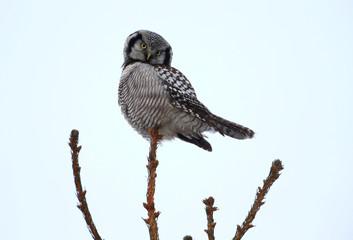 A hawk owl sits on a fir branch near the village of Vasilkova