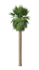 3D Rendering  Mexican Palm on White