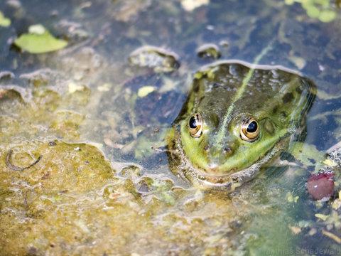 Stiller Beobachter - Frosch im Wasser