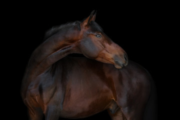 Chestnut horse on black background isolated