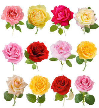 beautiful rose set isolated on white background