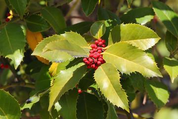 European Holly (Ilex aquifolium) leaves and fruits