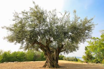 Photo sur Toile Oliviers 香川県土庄町 樹齢千年のオリーヴ大樹