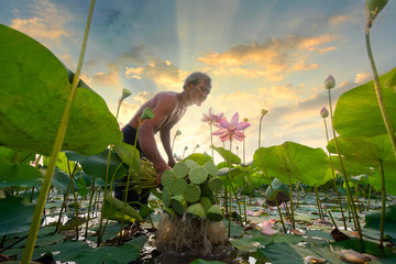 Asian people are farmers, collect lotuses in ponds, lotus flowers are produced by farmers.