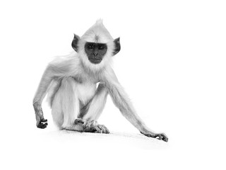 Isolated on white, artistic black and white photo of young Gray langur, Semnopithecus entellus, monkey baby sitting on the stone wall, staring directly at camera.  Anuradhapura,Sri Lanka.