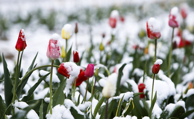 Snow covered tulips are seen in a flower field in Puchheim