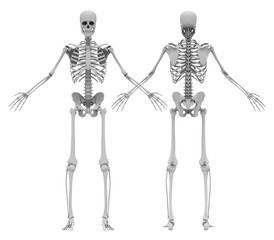 Human's (male) skeleton. Front and back view. Image isolated on a white background. 3D illustration