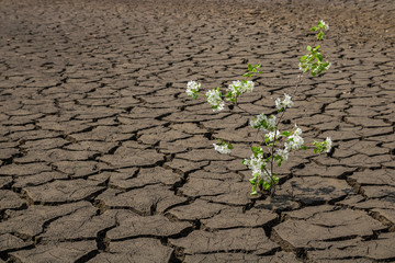 Ray of hope - blooming tree in cracked soil. Agriculture and climate change concept.