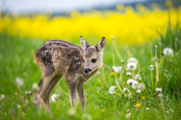 Young wild roe deer in grass, Capreolus capreolus. New born roe deer, wild spring nature.