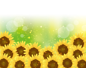 Background of  Sunflowers full bloom