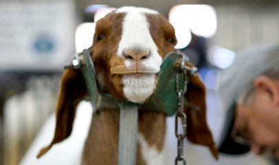 A man prepares to show his Boer goat at the 111th annual National Western Stock Show in Denver