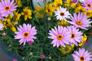 Argyranthemum frutescens pink and yellow flowers with green