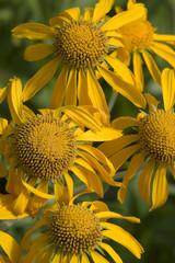 Yellow Sneezeweed, Helenium autumnale