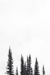 White space pine