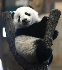 Giant Panda cub Fu Bao sits on a tree stump in its enclosure at the zoo in Vienna