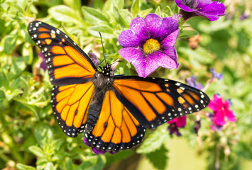 Dorsal view of a male Monarch butterfly on purple flowers