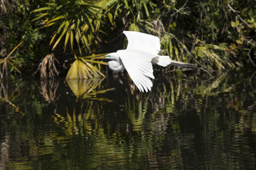 Great egret flying over water at a rookery in Florida.