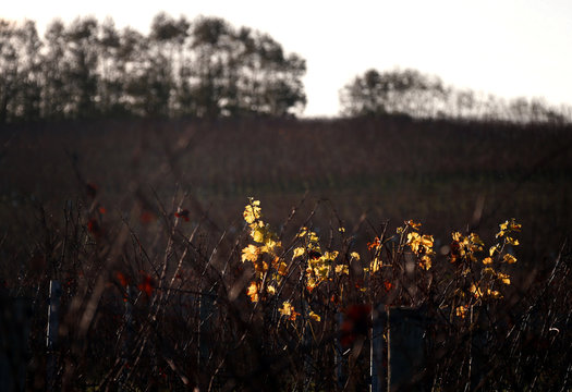 Leaves adorn a vine at Yalumba's Jansz estate in the Tamar Valley, located in the northeast of Tasmania