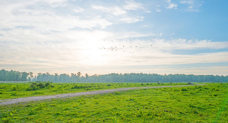 Geese flying over a field in wetland in spring