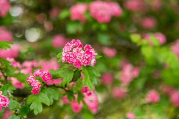 Midland Hawthorn, English (Crataegus oxyacantha/laevigata) blossom. Medical herb series.