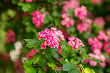 Midland Hawthorn, English (Crataegus oxyacantha/laevigata) blossom. Medical herb series.