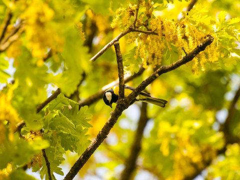 Parus major - Great tit on an oak branch in springtime