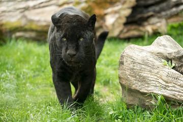 La pose en embrasure Panthère Schwarzer Panther