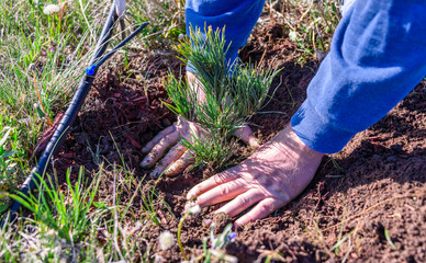 Closeup of  hands of a man who is planting a limber pine evergreen seedling tree next to a drip irrigation line. Nature, environment, ecology concept. Reforestation. New life concept.