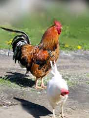 Photo of a beautiful rooster