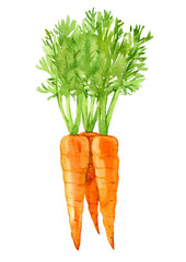 Carrot isolated on white background, watercolor illustration