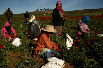 Women harvest green peas in a field near El Kef