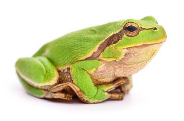 Small tree frog.