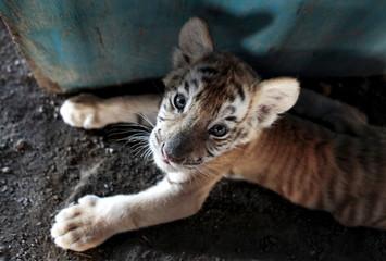 A golden bengal tiger cub is photographed while take a break inside Circo de Renato at Ciudad Sandino