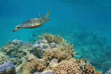 A green sea turtle underwater on a coral reef with tropical fish, Pacific ocean, New Caledonia