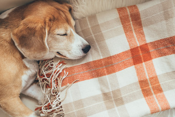 Sleeping beagle on cozy covers