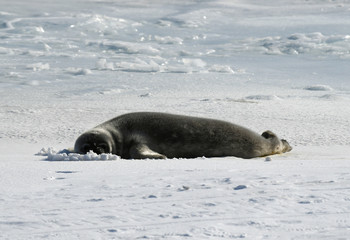A seal lies on a frozen section of the Ross Sea at the Scott Base in Antarctica