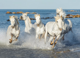 Five White Camargue Horses galloping along the beach in Parc Regional de Camargue - Provence, France.