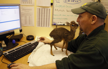 A baby Kirk's Dik Dik antelope stands on a desk in the office of Chester Zoo's curator of mammals