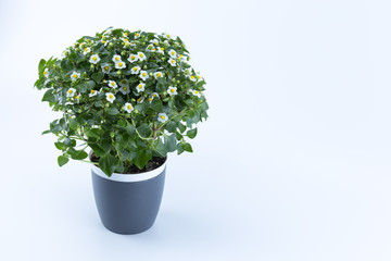 Tiny white and yellow flowers on a gray pot isolated in white background