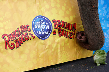 "An elephant attempts to eat a head of lettuce during an elephant brunch session before Ringling Bros and Barnum & Bailey Circus' ""Circus Extreme"" show at the Mohegan Sun Arena at Casey Plaza in Wilkes-Barre, Pennsylvania, U.S."