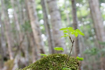 樹海の新芽
