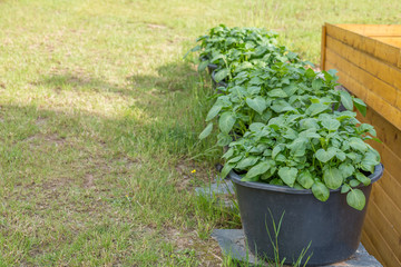 Potato trees plated on black buckets on natural stones with grass lawn and a shed as background