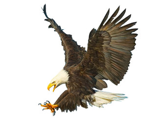 Bald eagle swoop attack hand draw and paint color on white background vector illustration.