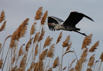 Heron flies above Volga river delta in Kazakhstan