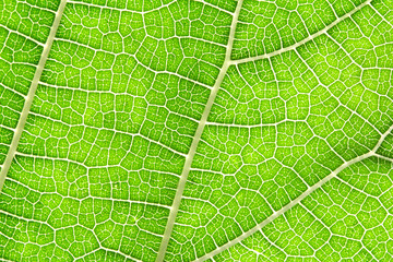 Close up the green leaf texture as green nature abstract background