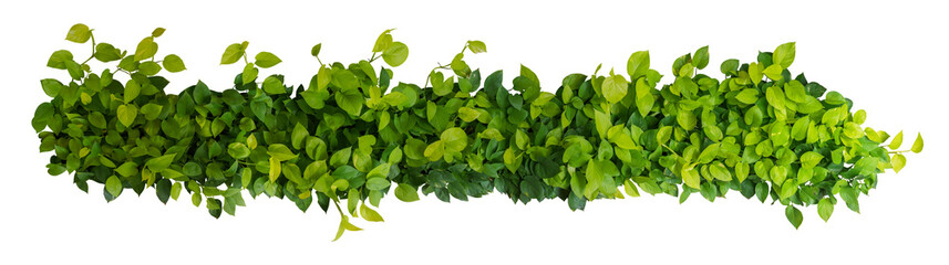 Wall Mural - Heart shaped green yellow leaves of devil's ivy or golden pothos, panoramic top view bush isolated on white background, clipping path included.