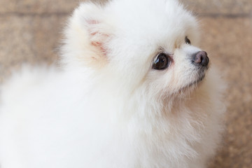Beautiful white pomeranian dog.