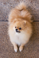 Beautiful orange pomeranian dog.