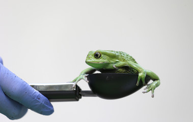 A waxy monkey tree frog is weighed in a measuring device during a photocall to publicize the annual measuring of all the animals at the London Zoo, in central London