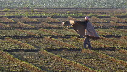 A man covers himself with a shawl as he walks through a spinach field on a morning at Mastgarh village in the northern Indian state of Punjab